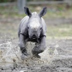 Dublin Zoo introduces its new rhino calf as he takes his first steps with his mother Ashanti. (Niall Carson/PA Wire)