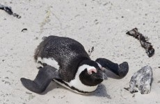 Penguins kidnapped from Australian island