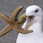 A seagull tries to eat a starfish on the docks at Granville Island in Canada.
