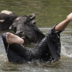 A Pakistani child swims with buffalos to beat the heat in Rawalpindi, Pakistan. (AP Photo/B.K.Bangash)