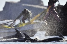 Japan intends to continue Antarctic whaling