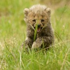 A month-old cheetah cub steps outside for the first time at Chester Zoo. (Dave Thompson/PA Wire)