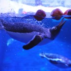 The Gentoo Penguins at the London Aquarium in Westminster bob for apples as a Halloween treat.