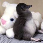 A two-week-old Little Penguin rests against a stuffed animal in an incubator at the Cincinnati Zoo (AP Photo/Al Behrman)