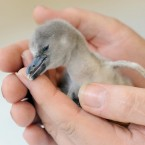 A three-day-old baby Humboldt Penguin is handled at London Zoo, Regent's Park, London.