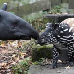 A three-week-old baby Malayan tapir called Nadira takes a first look at her new enclosure at Edinburgh Zoo with her mum Sayang.