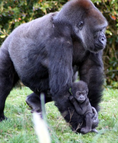 Baby gorilla Bristol