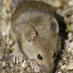 Scientists in China found that a group of mice, bred with brains which are unreceptive to a common hormone, lost the impulse to mate with females – and turned them homosexual.
