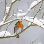 Another puffed-up robin sitting on a branch in Hexham, England. (Owen Humphreys/PA Wire)