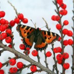 A butterfly sits on red berries between snow showers in the Scottish Borders. (David Cheskin/PA Wire)