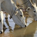 Cows stoops to drink from a pond near the paddy rice farm during rice at Tnuat Kpuoh village at the outskirt of Phnom Penh, Cambodia (AP Photo/Heng Sinith)