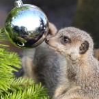 Meerkats at Blair Drummond Safari Park near Stirling are treated to mealworms inside Christmas baubles in their enclosure (Andrew Milligan/PA Wire)