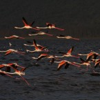 Pink Flamingos take off from Lake Nakuru, Kenya.(AP Photo/Harry Hamburg)