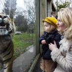 Dublin Zoo celebrates welcoming over 1 million visitors through the gates in 2011. This is the first time in the colourful 180 year history of the Zoo that over 1 million people have visited Irelands best loved attraction. Pictured are the one millionth visitor winners Joanne Barrett and her daughter Aine Rose Barrett, (3) from the Navan Road Dublin,they watch Sumatran tiger Kepala walk pass them at the zoo. To mark the milestone Dublin Zoo gave the lucky family a five year family pass and the Barretts also enjoyed a VIP tour of the Zoo where they met the keepers and experienced an elephant encounter. (Photo:Leon Farrell/Photocall Ireland.)