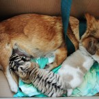 Yes that is a dog breastfeeding a tiger cub...