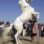 Around 150 horses are took part in a show  organised to promote, showcase and raise awareness about the Indian breeds of horses in Dholera , India. (AP Photo/Ajit Solanki)