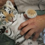 Would you tickle a tiger? (AP Photo/The Florida Times-Union, Kelly Jordan)