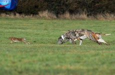Opposition TDs propose laws to ban hare coursing