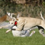 Kyle King (red collar) keeps his eye on the hare as Kyle Tankard tumbles during their Classics Club Champion Stakes semi final at the National Hare Coursing Championship meeting.  (PA)