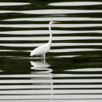 A migratory Egret waits for its prey at the reclaimed area in Manila Bay known as