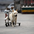 Chongqing, China: Sansan was a stray dog and its rear legs were broken in a road accident in September 2011. After the accident, it was adopted by a local woman, Zeng Ying. (Photo by ChinaFotoPress)