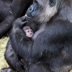 Kituba shortly after his birth - his mum held him so tightly that zookeepers couldn't tell his gender.