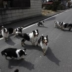 Dogs run around a town of Minami Soma, inside the deserted evacuation zone established around the Fukushima Dai-ichi nuclear complex in northeastern Japan. (AP Photo/Hiro Komae/PA Images)