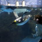 A child tries to kiss the penguins swim inside the Pole-Aquarium at the Laohutan Ocean World. (AP Photo/Andy Wong)