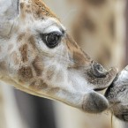 Giraffes love a good kiss (AP Photo/Jens Meyer)