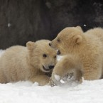 Two of three polar bear cubs born in November last year, play in the snow at the Moscow Zoo. (AP Photo/Alexander Zemlianichenko)