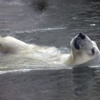 A father bear of three polar bear cubs born in November last year, swims in a cold water at the Moscow Zoo. (AP Photo/Alexander Zemlianichenko)