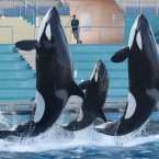 A female killer whale, Moana, center, jumps with killer whales of the animal exhibition park Marineland in Antibes, southern France. (AP Photo/Lionel Cironneau)