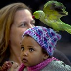 A parrot alights from a child's head during celebrations of St. Patrick's Day in Bucharest, Romania.(AP Photo/Vadim Ghirda)