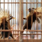 Two birds fight during a competition at BeiBei Park on March 18, 2012 in Chongqing, China. (Photo by ChinaFotoPress)