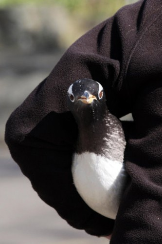 Gentoo penguins moved at Edinburgh Zoo