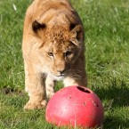 Libby the six month old lion cub plays with a ball as she ventures out for the first time in her enclosure with her mum Teekay and dad Dudley at Blair Drummond Safari Park near Stirling.