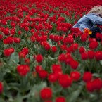 A child holds his sandwich as he gets up after having his picture taken in a field of red tulips near Keukenhof, the Netherlands. (AP Photo/Peter Dejong)