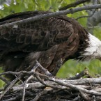 An American bald eagle feeds its young in their nest at Gray's Lake Park, in Des Moines, Iowa. (AP Photo/Charlie Neibergall)