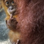 Bino, one-year-old Sumatran Orang Utan, peeps from behind his mother at the Singapore Zoo. (AP Photo/Wong Maye-E)