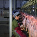 A North Korean woman cleans slaughtered ducks on a processing line at the Dudan duck factory which employs 1000 workers and produces 7000 tons of duck products a year in Pyongyang on Thursday (AP Photo/Ng Han Guan)