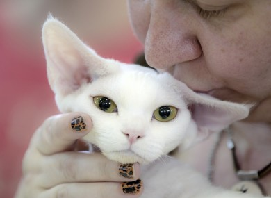 A Devon Rex is kissed by it's owner during an international feline beauty competition in Bucharest, Romania