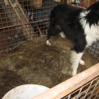 A dog pictured in the cage where he was found. It appears he was not allowed out to go to the toilet.