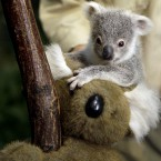 A seven-month-old koala at Duisburg Zoo, Germany, 2011. (AP Photo/Frank Augstein/PA Images)
