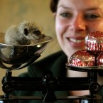 Meerkat in a sort-of cup, being weighed.