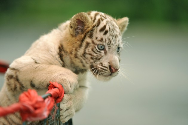 China Tiger Cubs