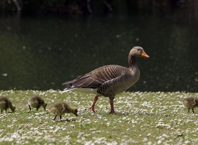 A family of geese enjoy the sunshine in a London park