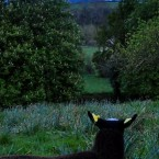A lamb watches the moon rise over Ireland (@zwartblesIE on Twitter)