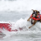 Hanzo, a three-year-old Boxer begins a wipeout (AP Photo/Gregory Bull)