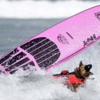 Kona, a six-year-old German Shepherd mix, wipes out (AP Photo/Gregory Bull)