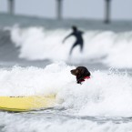 King, a nine-year-old golden retriever surfs a wave (AP Photo/Gregory Bull)